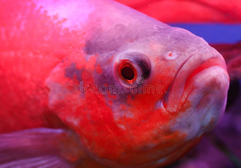 Oscar fish. Closeup in an aquarium stock image
