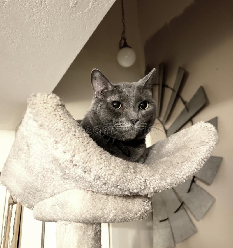 Oscar Kitty majestueux photo stock