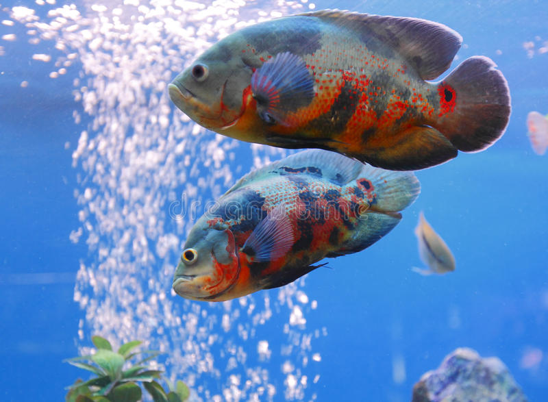 Oscar Oscars fish. Oscars / Oscar are from the fish family of cichlids royalty free stock photography