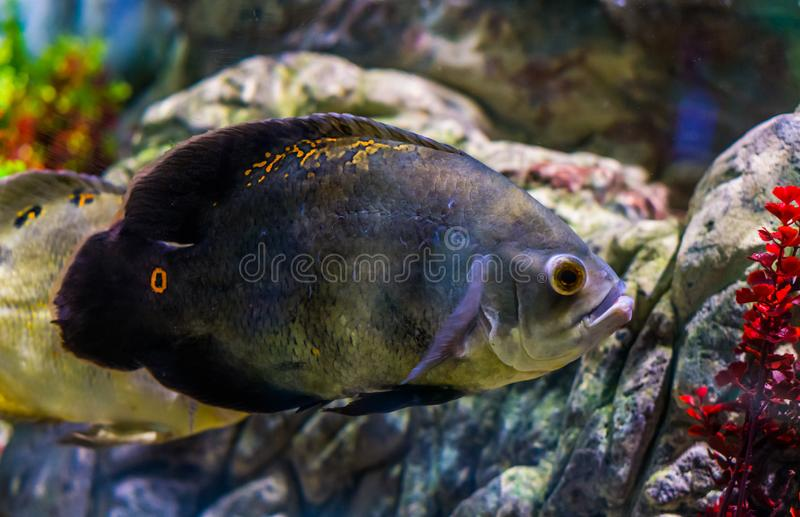 Oscar tiger cichlid with mostly solid grey color and a few orange spots, popular pet in aquaculture. A oscar tiger cichlid with mostly solid grey color and a few stock image