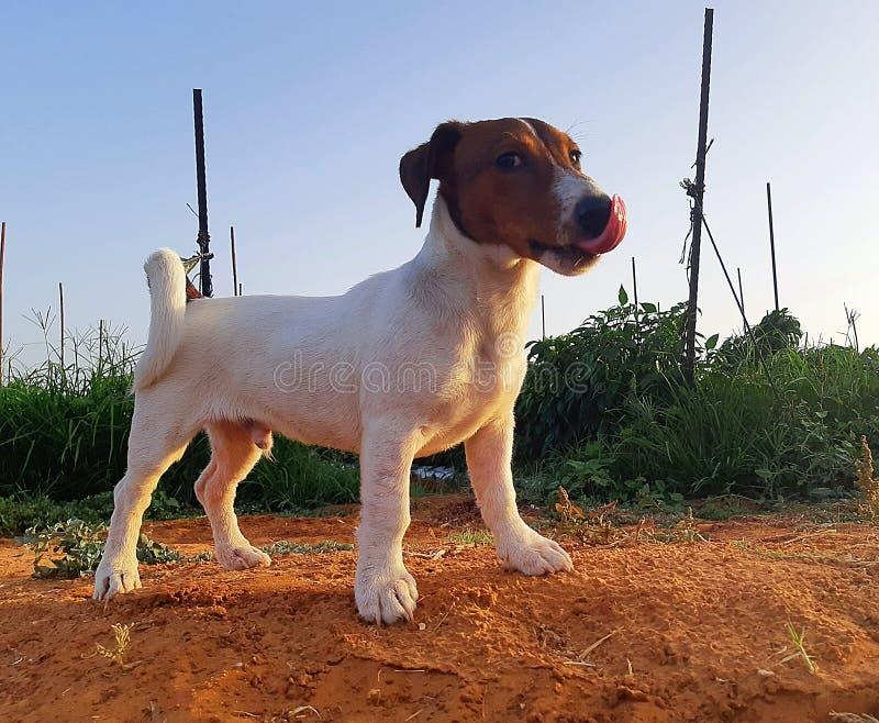 Oscar - valp för stålarrussell terrier royaltyfria bilder