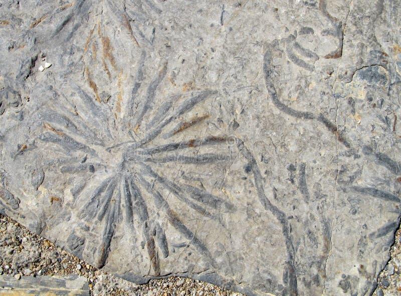 Oscila fósiles de los withs fotos de archivo libres de regalías