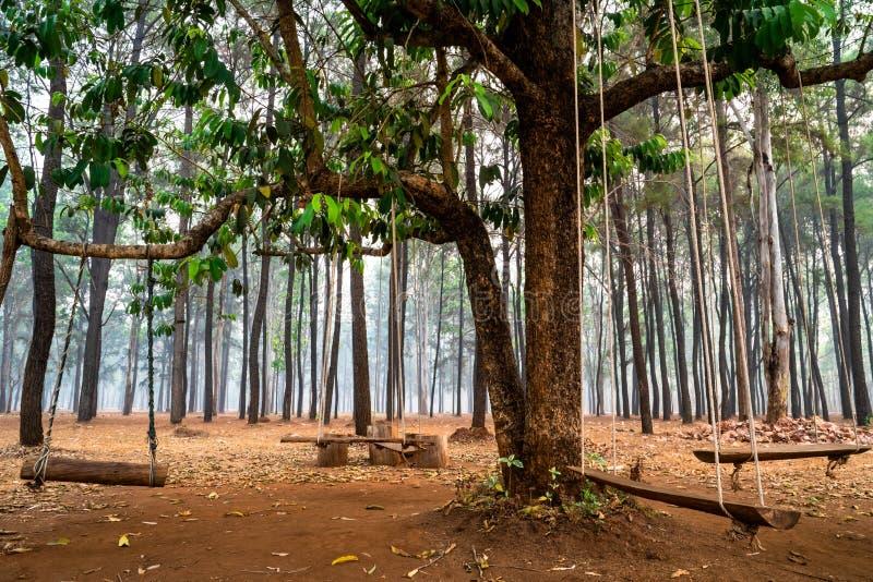 Oscillazioni di legno che appendono sui rami di albero nella foresta del pino fotografia stock