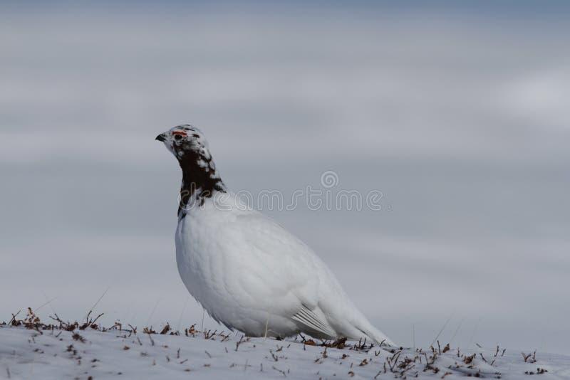 Oscilli il Lagopus Muta della pernice bianca che mostra i colori della molla mentre stanno sulla neve fotografia stock libera da diritti