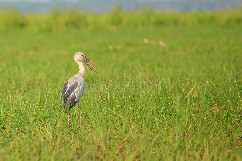 Oscitans del Anastomus dell'uccello di Openbill dell'asiatico in natura a Thale Noi Waterfowl Reserve Lake, Tailandia immagine stock
