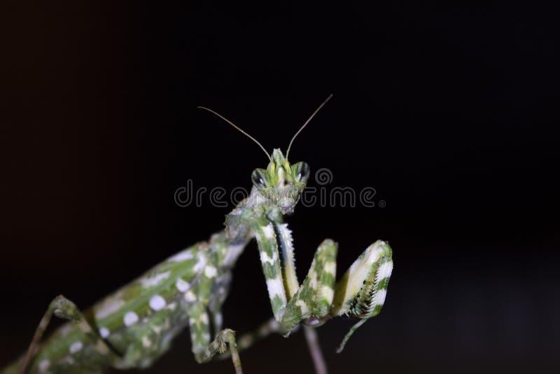 Oset modliszka, Blepharopsis mendica wśród ogródu w ciborze podczas może przy nocą i dniem fotografia royalty free