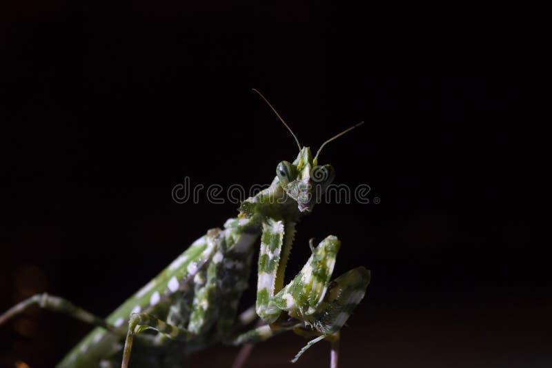 Oset modliszka, Blepharopsis mendica wśród ogródu w ciborze podczas może przy nocą i dniem zdjęcia stock