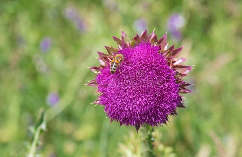 Osetu Cirsium ma pszczoła gościa zgromadzenia nektar przy początkiem kwiatonośny czas obrazy royalty free