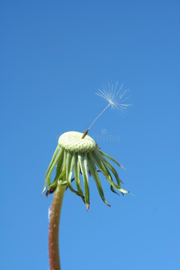 osiąga dandelion ziarna jeden zdjęcie royalty free