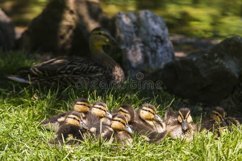 Osiem ślicznych brown i żółtych Mallard kaczątek kłama w trawie skupia się wpólnie obraz stock