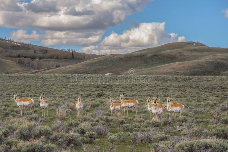 Osiem antylopa Robi W północnym zachodzie Kolorado obrazy royalty free