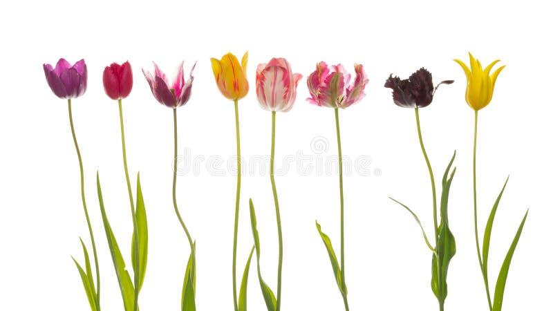 Osiem kolorowych pięknych tulipanów obraz stock
