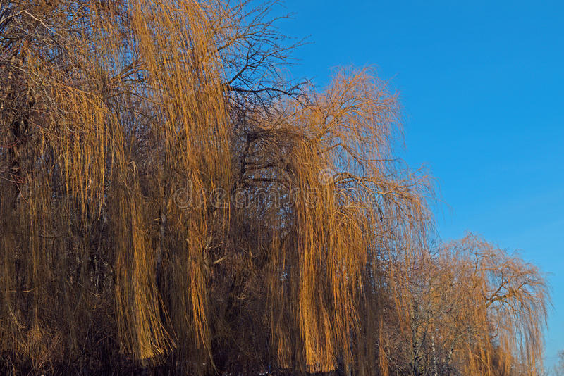 Osier в последней зиме стоковая фотография