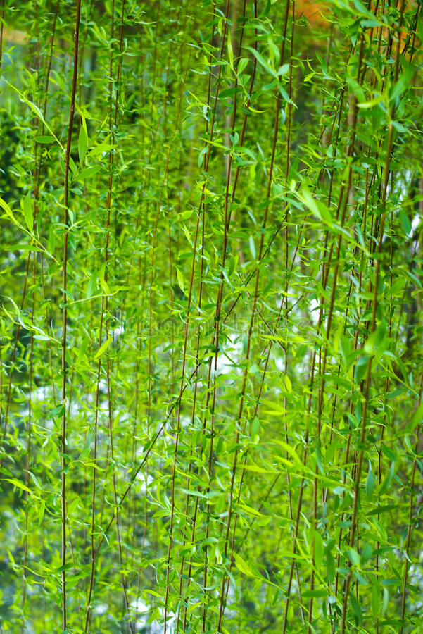 Osier. Spring had issued willow shoots royalty free stock image