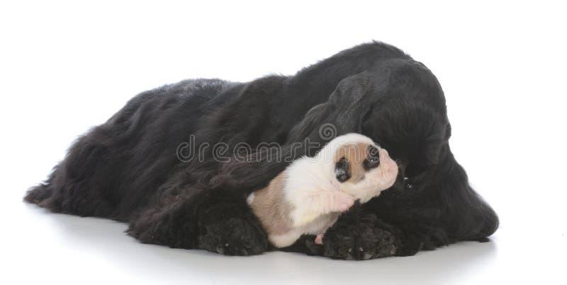 osierocony szczeniak podnosi zastępczą matką obrazy stock