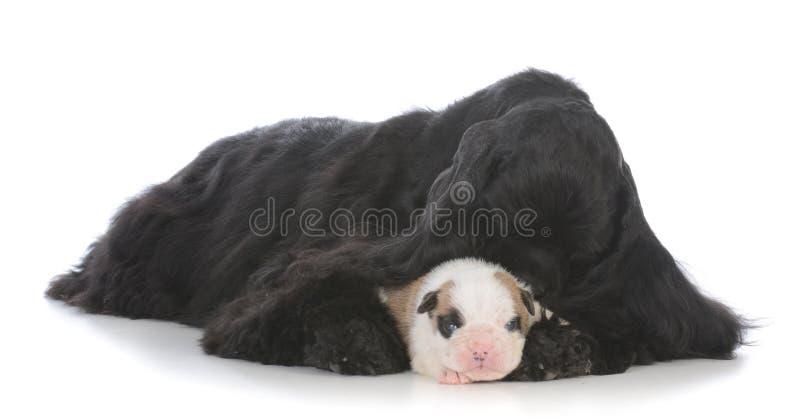 osierocony szczeniak podnosi zastępczą matką zdjęcie stock
