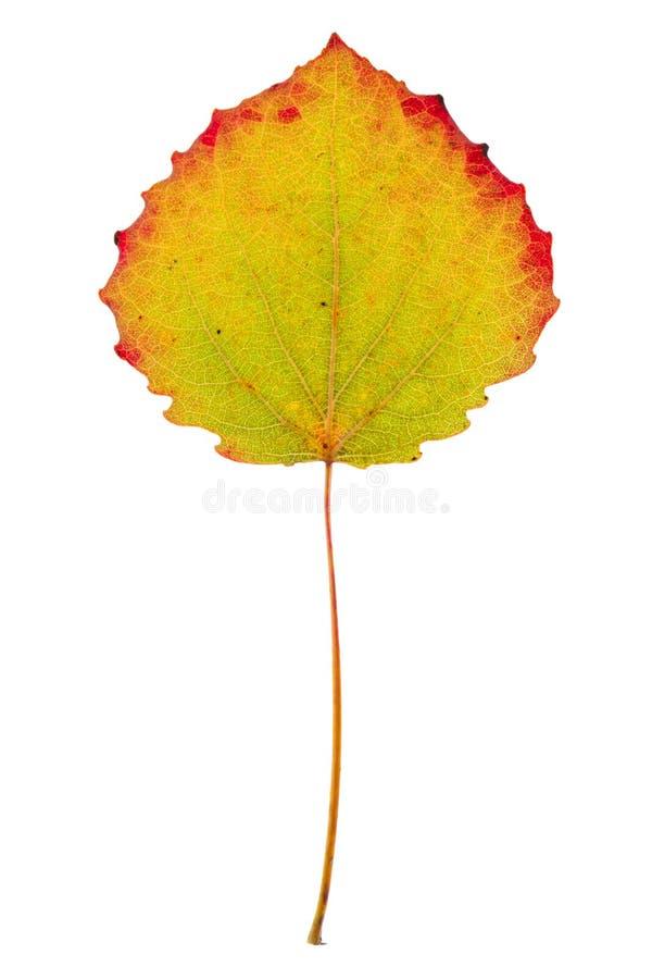 Osika barwiony liść na odosobnionym zdjęcie royalty free