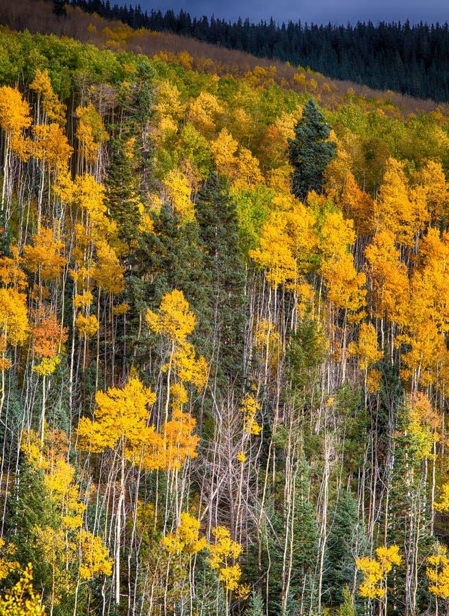 Osikowi drzewa w jesień kolorach obraz stock