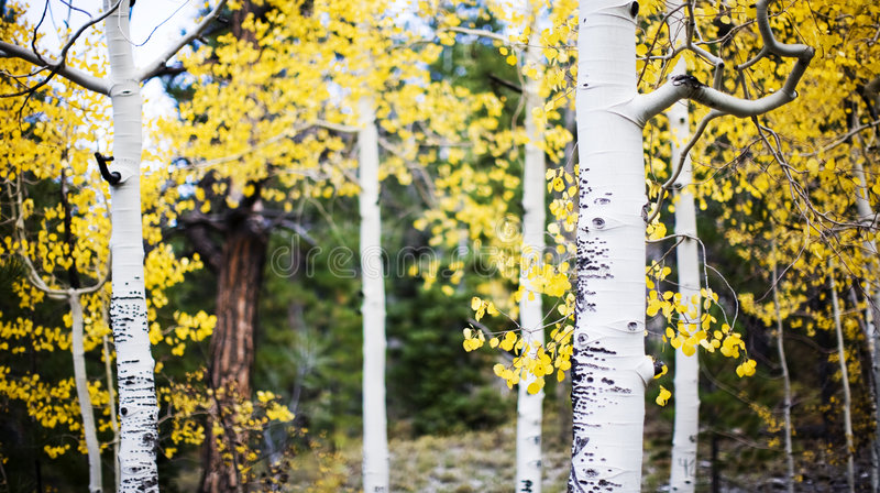 osikowi lasowi drzewa fotografia royalty free