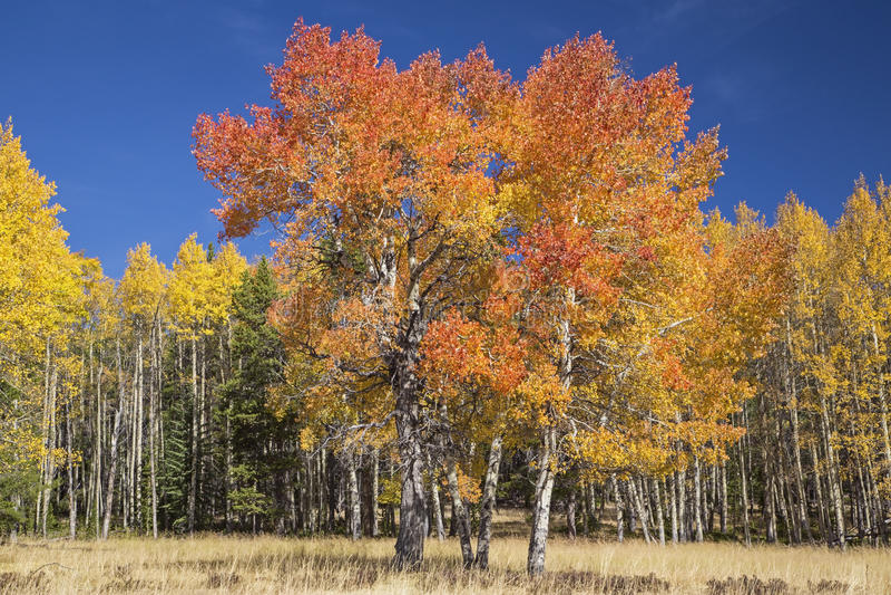 Osikowy drzewa niebieskiego nieba jesieni kolor fotografia royalty free