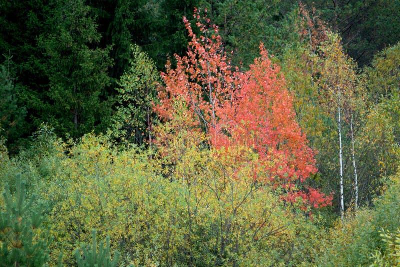 Osikowy drzewo Dostaje Gotowy Obracać kolor obraz stock
