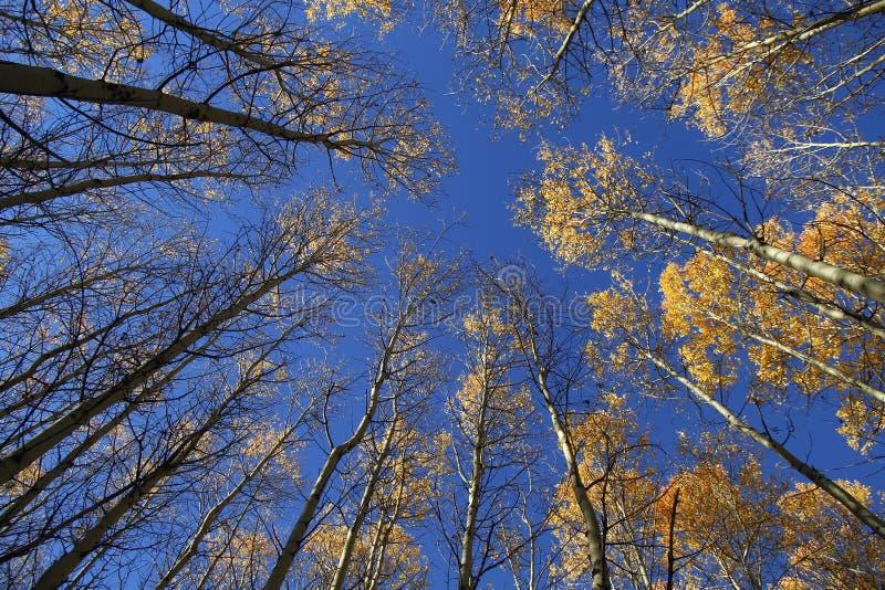 Osikowy las opuszcza niebo zdjęcie stock
