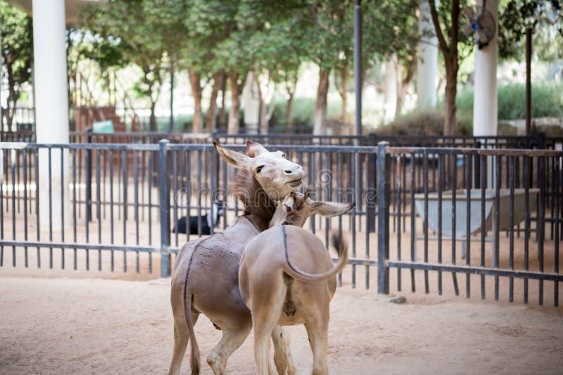 Osioł para ma zabawę w parku obrazy royalty free