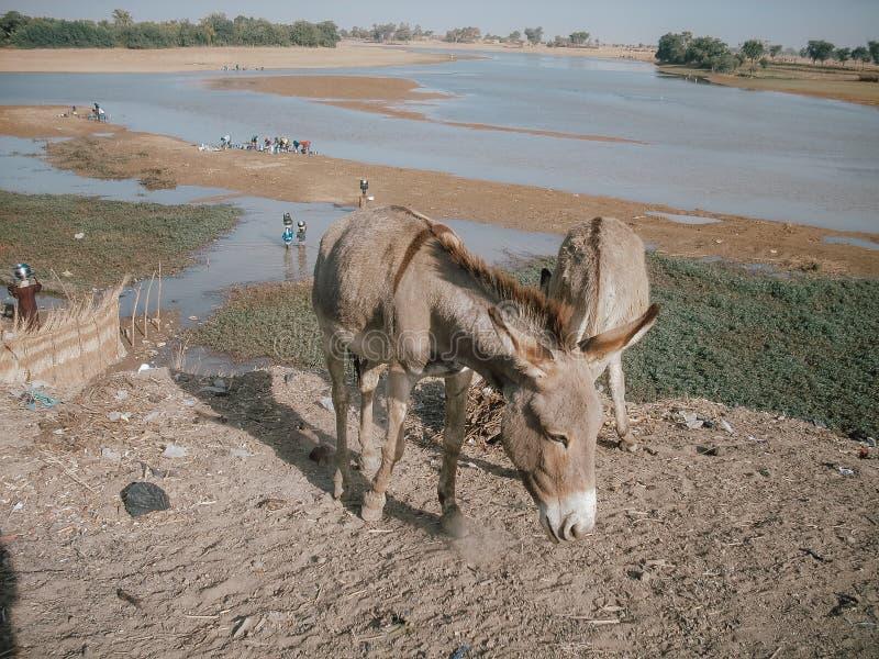 Osioł w Afryka blisko Niger rzeki w Timbuktu, Mali zdjęcie stock