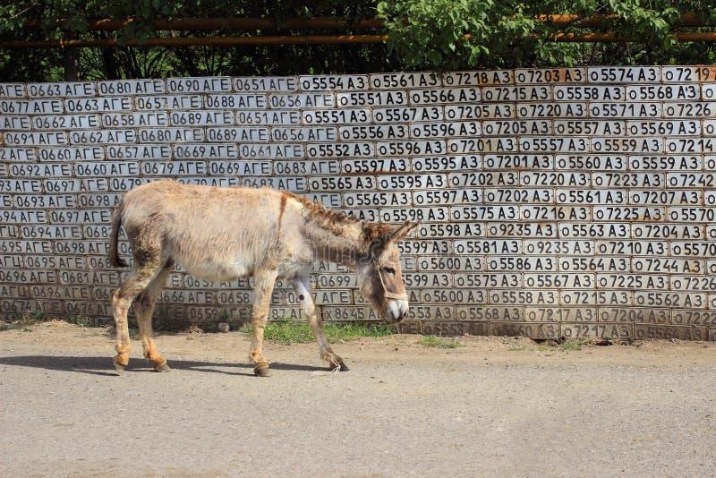 Osioł w ulicach Vank wioska obraz stock