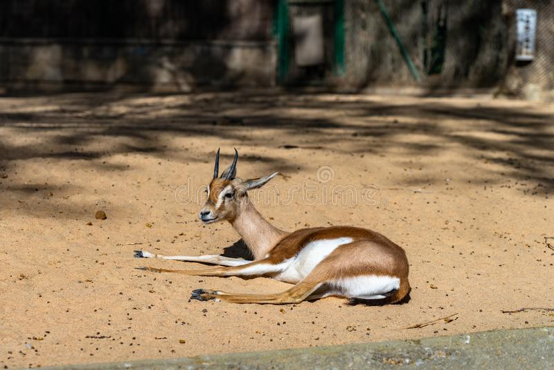 Osiris di dorcas del Gazella della gazzella di dorcas di Saharian in zoo Barcellona fotografia stock libera da diritti