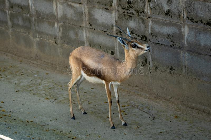 Osiris di dorcas del Gazella della gazzella di dorcas di Saharian in zoo Barcellona fotografia stock