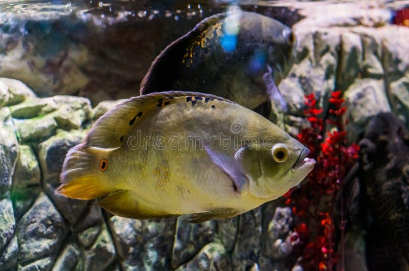 Oskar cichlid koloru mutacja, popularny akwarium zwierzę domowe, tropikalna ryba od Amazon basenu południowy Ameryka zdjęcia royalty free