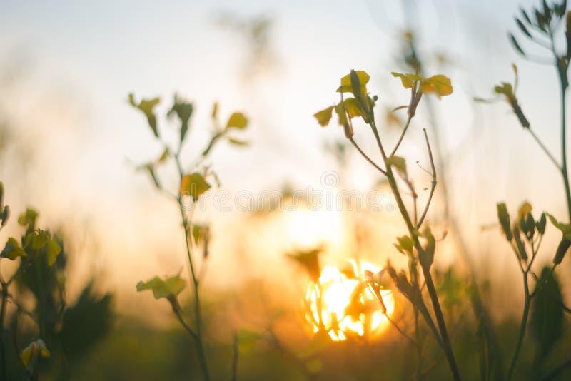 Oskarp bakgrund vid den lösa blomman i äng på solnedgång Makro slapp fokus grunt djupf?lt arkivfoton