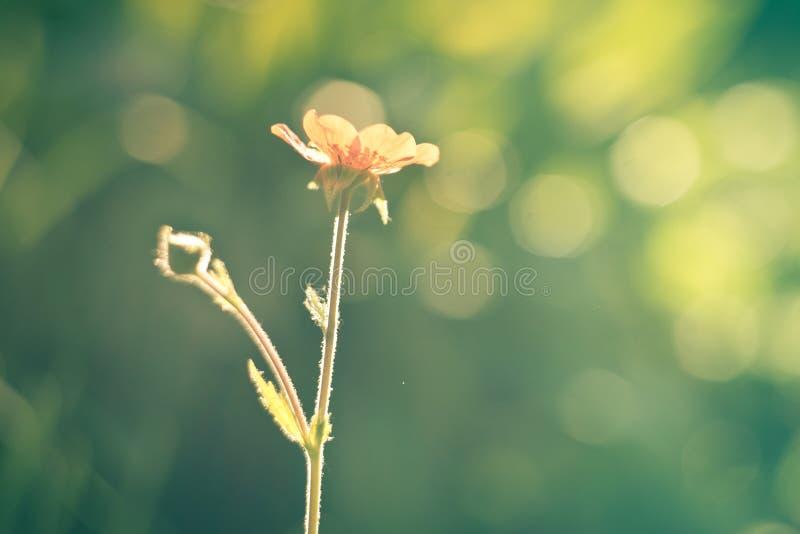 Oskarp bakgrund vid många gul blomma i fältet på morgon arkivbilder