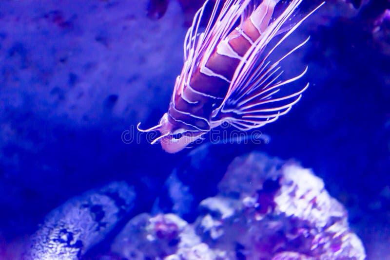 Oskarpt foto av lionfishen för Spotfin lionfishantennata i ett havsakvarium arkivfoton