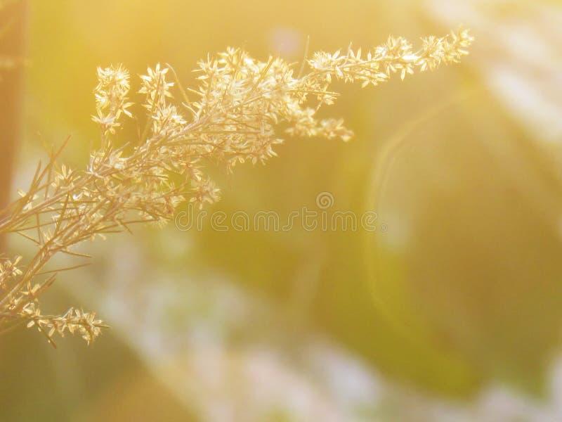 Oskarpt och softness av den torra blomman med mjukt solljus royaltyfri bild