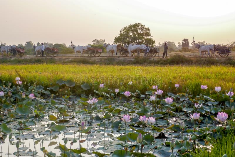 Oskarren en lotusbloemgebieden in landelijk Kambodja royalty-vrije stock afbeeldingen