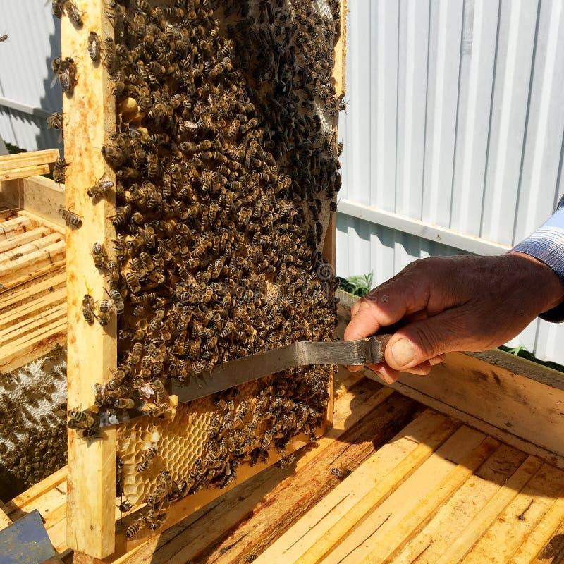 Oskrzydlona pszczoła wolno lata pszczelarka zbiera nektar obraz stock