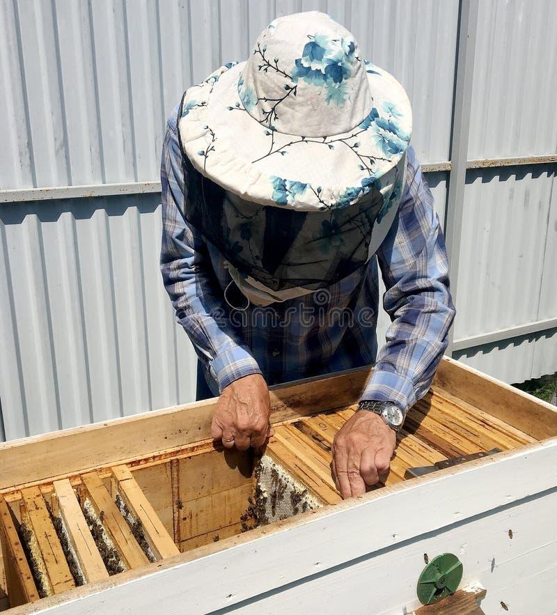 Oskrzydlona pszczoła wolno lata pszczelarka zbiera nektar zdjęcia stock