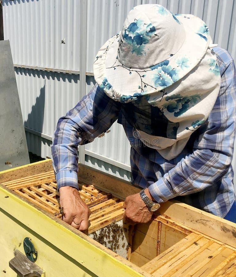 Oskrzydlona pszczoła wolno lata pszczelarka zbiera nektar obrazy stock