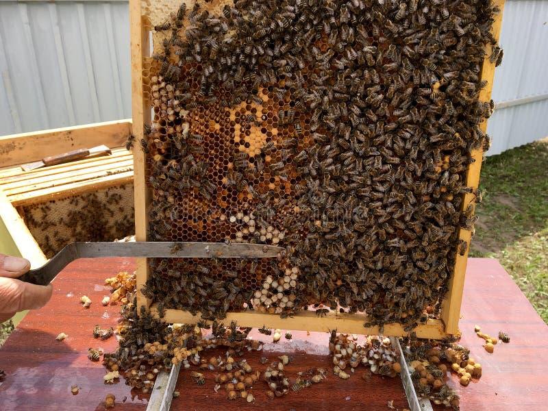 Oskrzydlona pszczoła wolno lata pszczelarka zbiera nektar obrazy royalty free