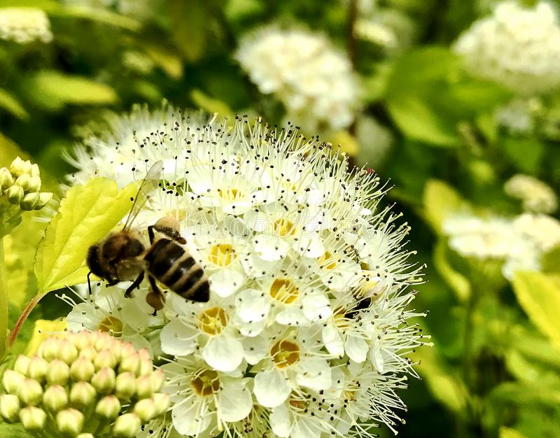 Oskrzydlona pszczoła wolno lata roślina, zbiera nektar fotografia stock