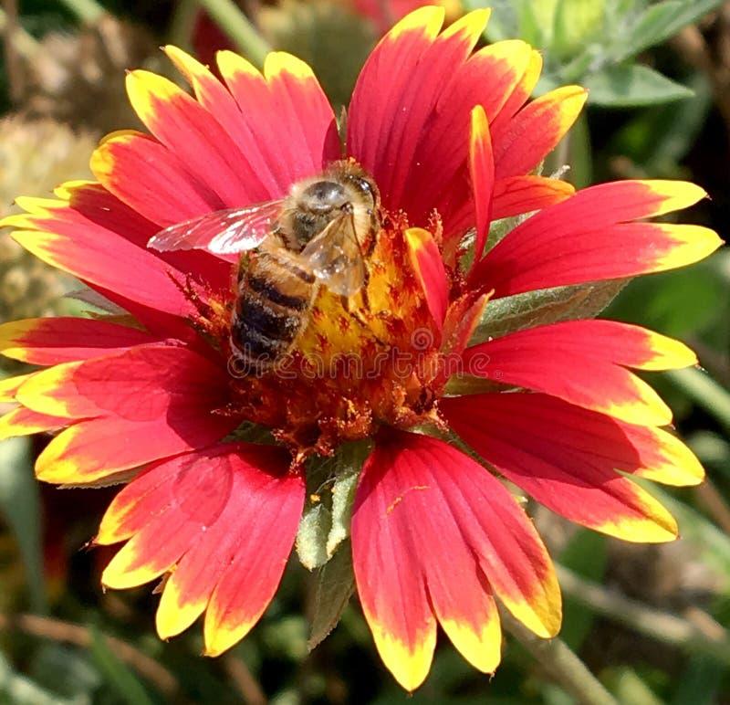Oskrzydlona pszczoła wolno lata roślina, zbiera nektar zdjęcia royalty free