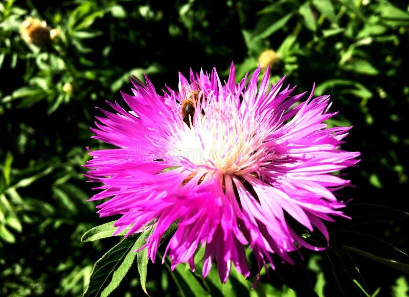 Oskrzydlona pszczoła wolno lata roślina, zbiera nektar fotografia royalty free