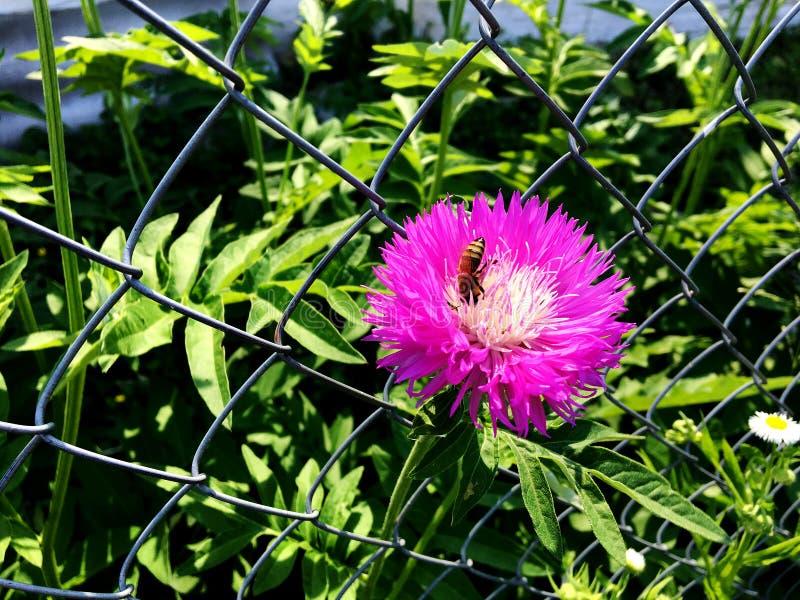 Oskrzydlona pszczoła wolno lata roślina, zbiera nektar obrazy stock
