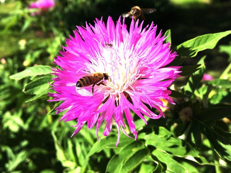 Oskrzydlona pszczoła wolno lata roślina, zbiera nektar obrazy royalty free