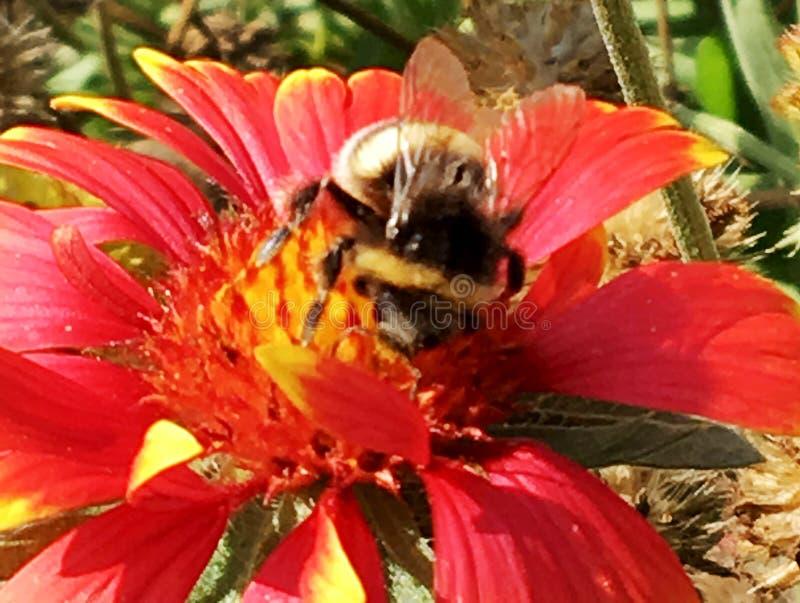 Oskrzydlona pszczoła wolno lata roślina, zbiera nektar zdjęcia stock