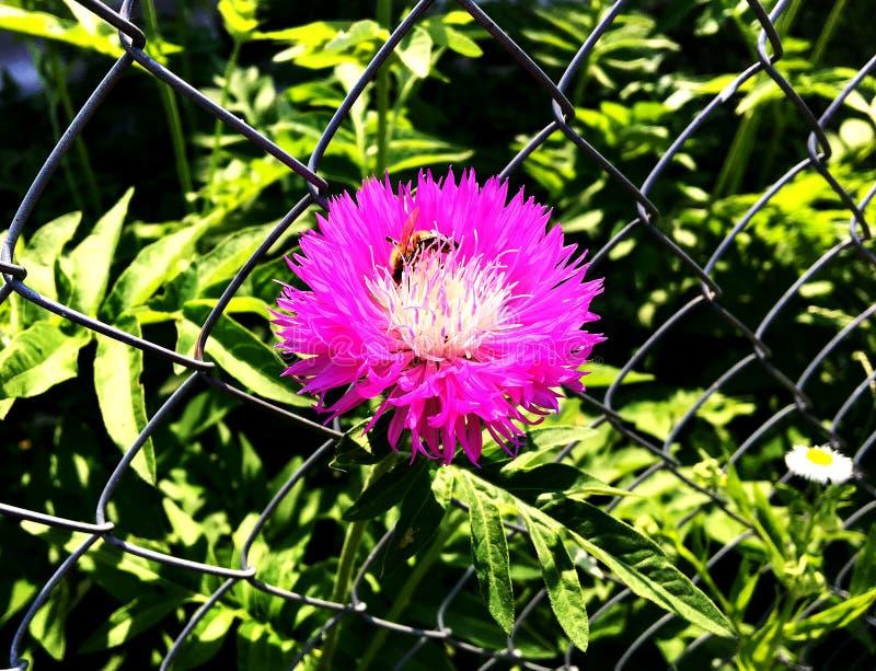 Oskrzydlona pszczoła wolno lata roślina, zbiera nektar zdjęcie royalty free