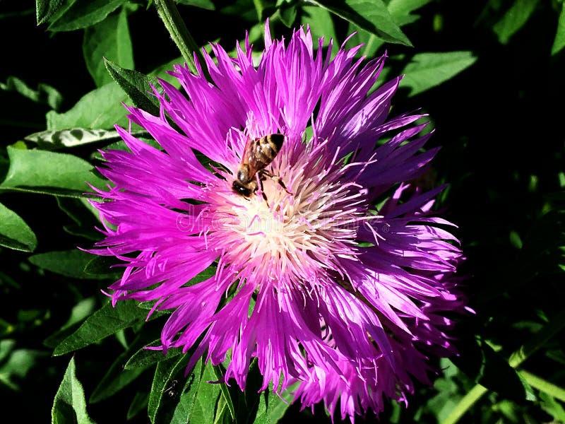 Oskrzydlona pszczoła wolno lata roślina, zbiera nektar obraz royalty free
