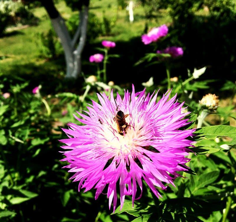 Oskrzydlona pszczoła wolno lata roślina, zbiera nektar obraz stock